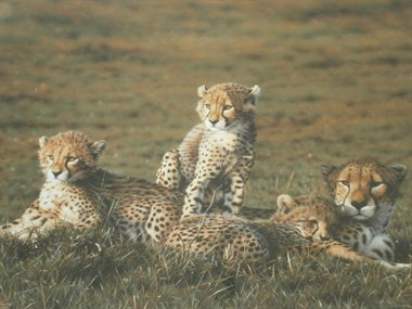 Lot 87 - Cheetahs By Steven Townsend Sold For £2,600