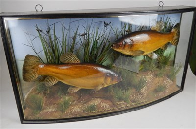 Lot 1268 A taxidermied pair of tench