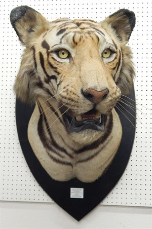 Thumbnail _lot 216 A taxidermied tigers head by Van Ingen and Van Ingen of Mysore
