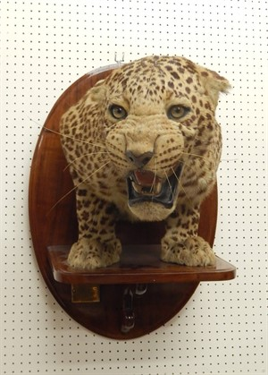 Thumbnail _lot 0020 A taxidermied leopard by Van Ingen of Mysore