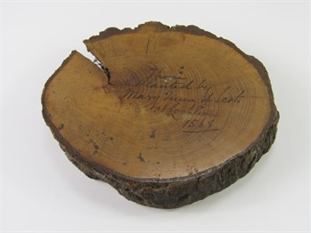 261 A cross section of Thorn Tree attributed as having been planted by Mary Queen of Scots