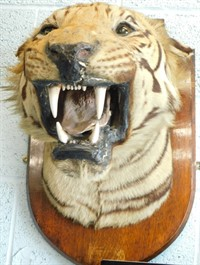 An early 20thC taxidermied lion's head by Gerrard